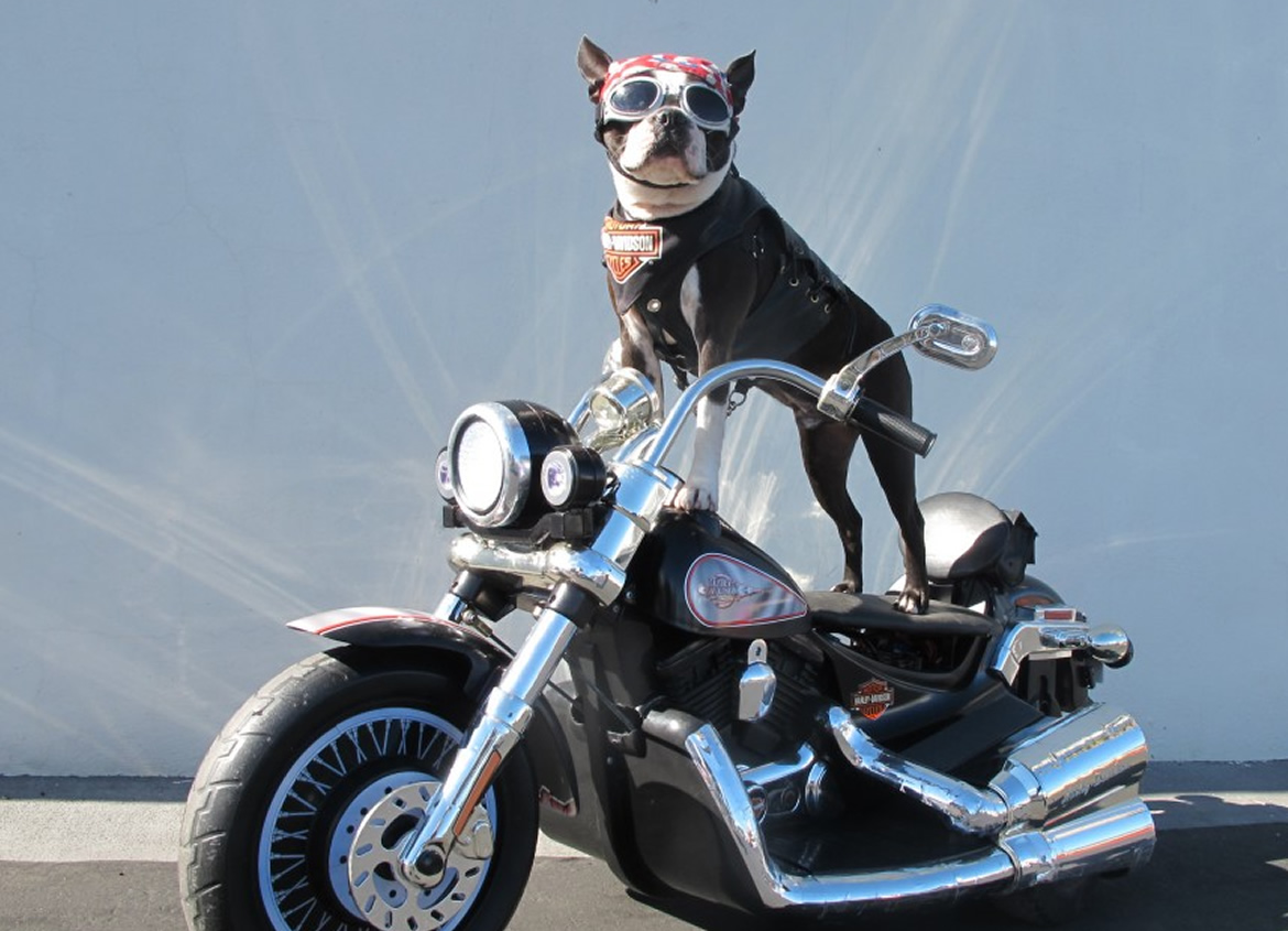 Chopper The Bike Dog